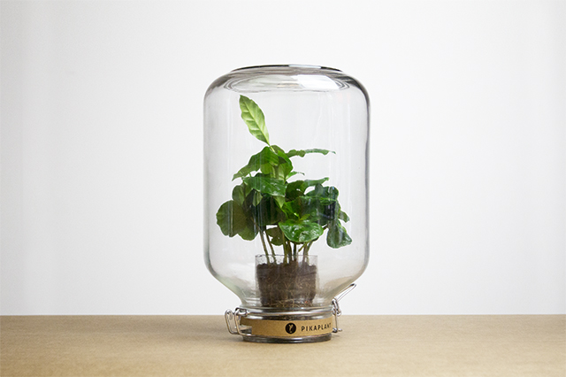 Pikaplant Jar Coffea No-maintenance Indoor Plant